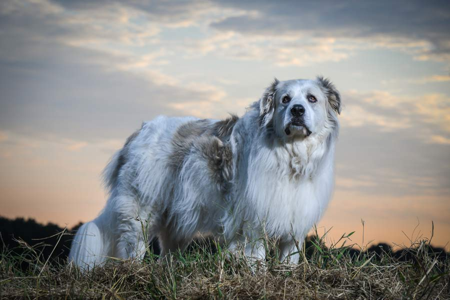 Alice the Great Pyrenees